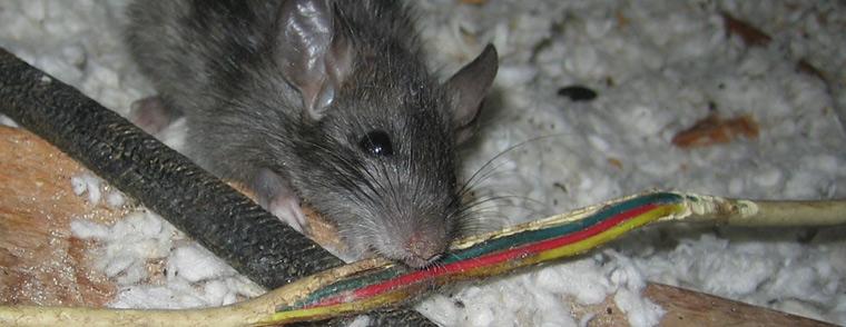Cegah Kabel Putus Tergigit Tikus