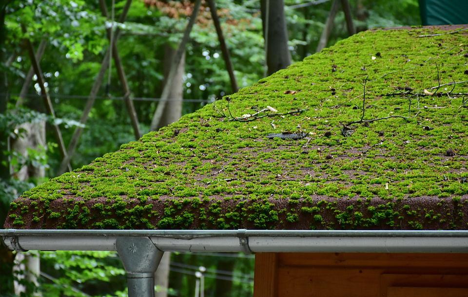 lumut di atap